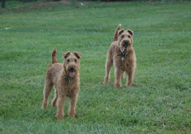 Irish terrier com
