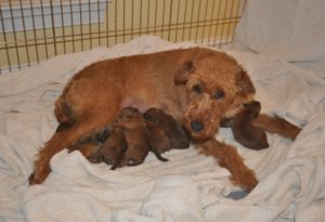 Tyller and pups